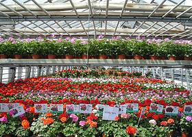 Topfpflanzen for Balkonpflanzen gegen fliegen